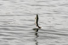 Sitka Alaska salmon