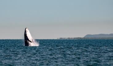 Humpback calf breaching by Moreton Island (Australia)