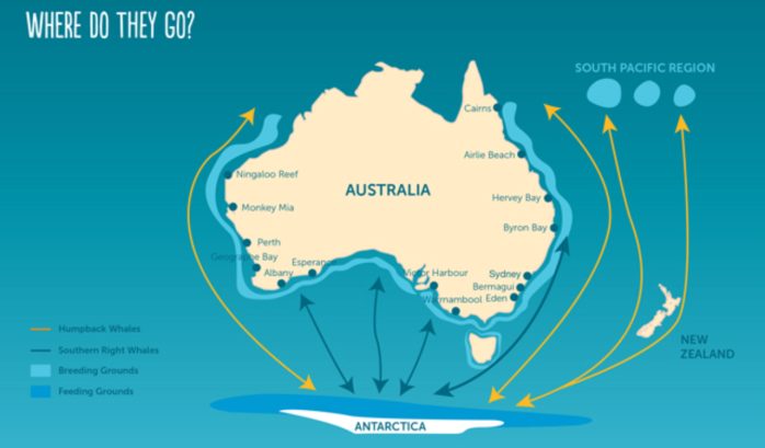 whale-migration